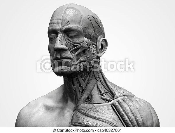 Human Body Anatomy Of A Male Head And Torso Anatomy Human Head