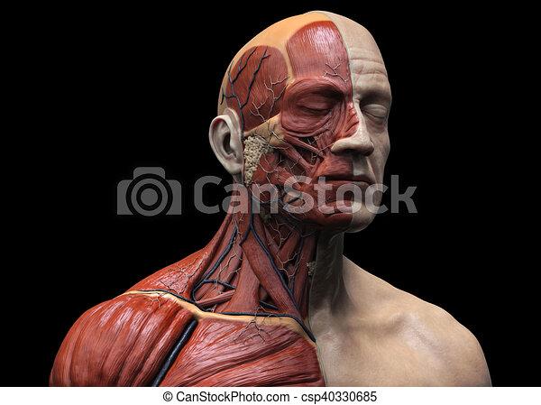 Human Body Anatomy Of A Man Human Anatomy Muscle Anatomy Of The