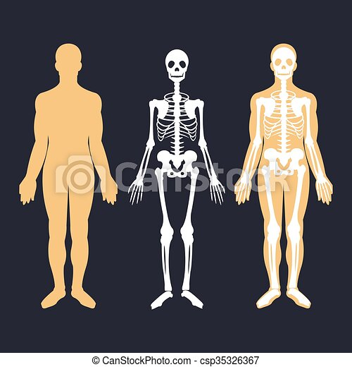 human body and skeletal system flat - csp35326367
