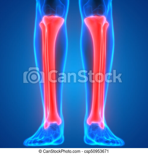 3d illustration of human body bone joint pains anatomy (tibia and ...