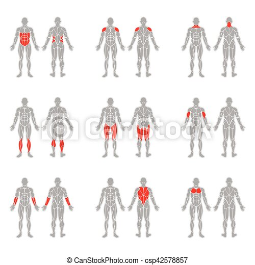 Human body muscles. Human muscles silhouettes isolated on white ...