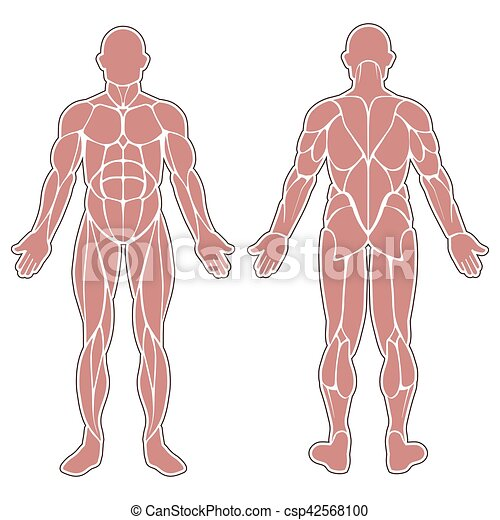 Human body muscles. Human muscles silhouette isolated on white ...