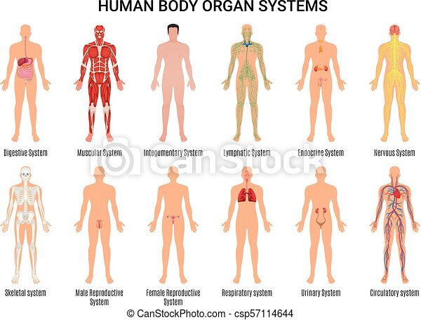 Human body organ systems poster. Main 12 human body organ systems ...
