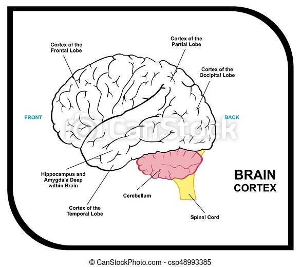 Human brain anatomy diagram including cortex of frontal partial ...