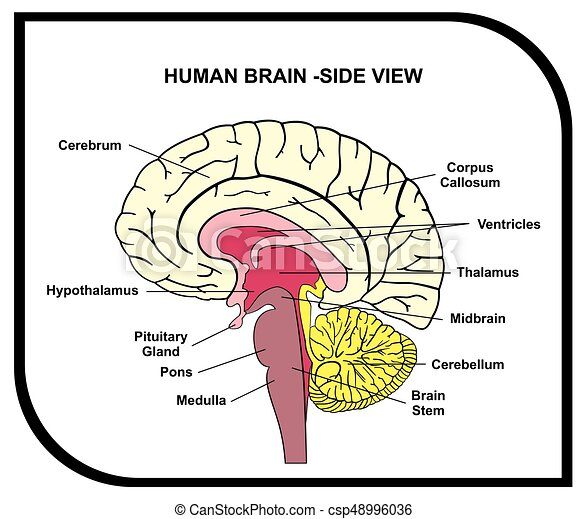 Human Brain Anatomy Diagram Cross Section With All Lobes And Parts