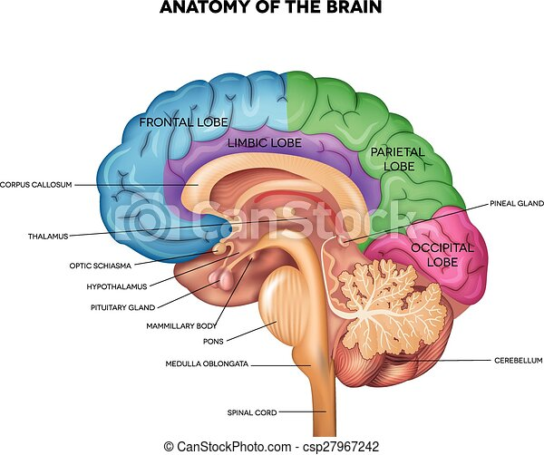 Human brain anatomy . Human brain lobes, beautiful colorful ...