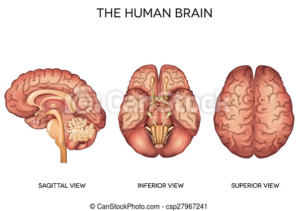 Human brain detailed anatomy from different views, inferior view ...