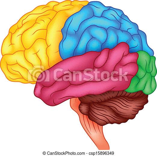 Human brain - csp15896349