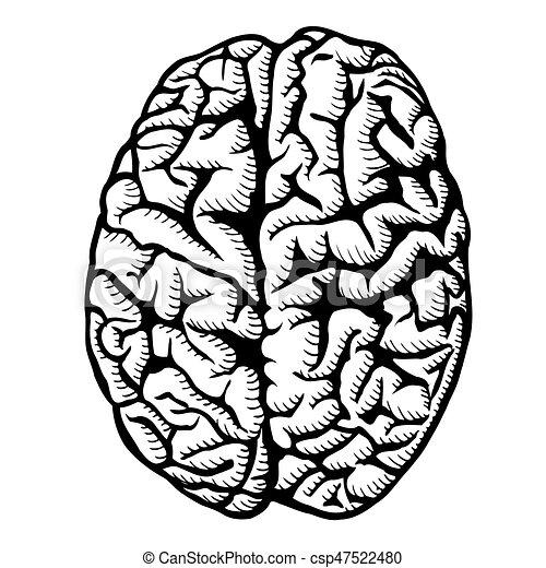 human brain illustration human brain vector illustration vector rh canstockphoto com