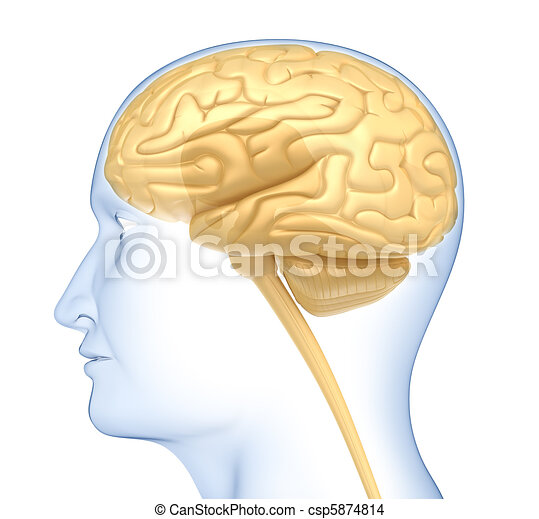 Human brain in the head. Side view. - csp5874814