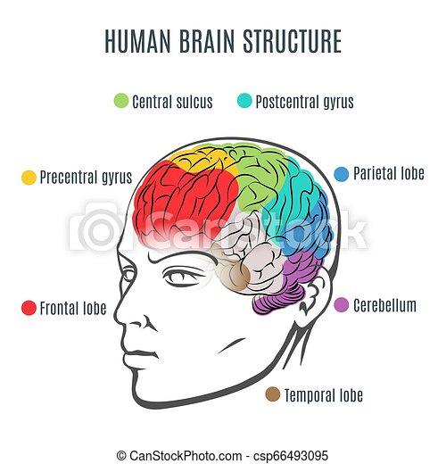 Human Brain Structure - csp66493095