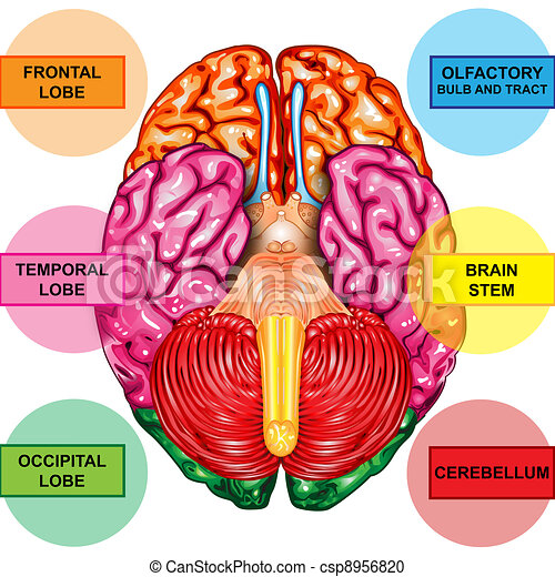 Human brain underside view illustration body part human brain human brain underside view csp8956820 ccuart Image collections