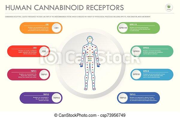 Human Cannabinoid Receptors horizontal business infographic - csp73956749