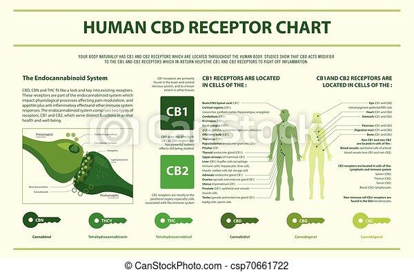 Human CBD Receptor Chart horizontal infographic - csp70661722