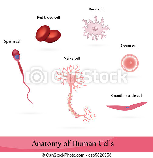human cells anatomy of muscle  sperm  ovum  nerve  blood and bone cells cardiac rehab clipart cardiac pictures clip art