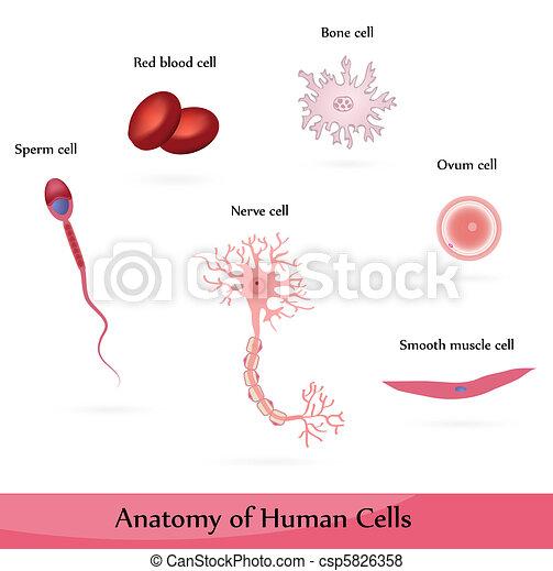 Human cells. Anatomy of muscle, sperm, ovum, nerve, blood and bone ...