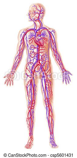 Human circolatory system cross section - csp5601431