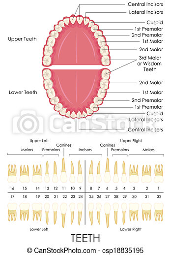 Human Dental Anatomy Vector Illustration Of Diagram Of Human Dental