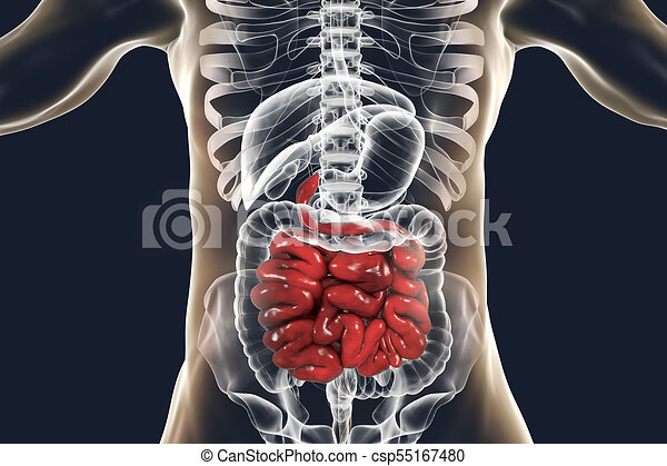 Human Digestive System Anatomy With Highlig 3d Illustration Human