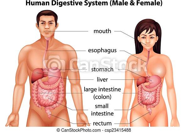 Human digestive system - csp23415488