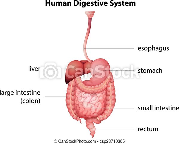 Human digestive system - csp23710385