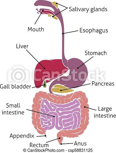 Human Digestive System Gut Gastrointestinal Tract A Human Gut