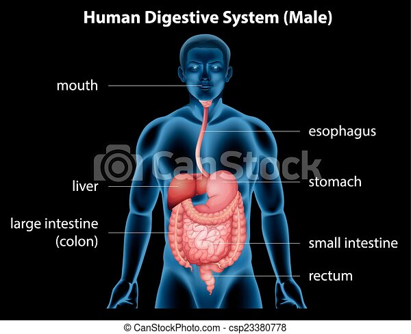 Human digestive system - csp23380778