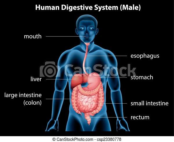 Human digestive system - csp23380778