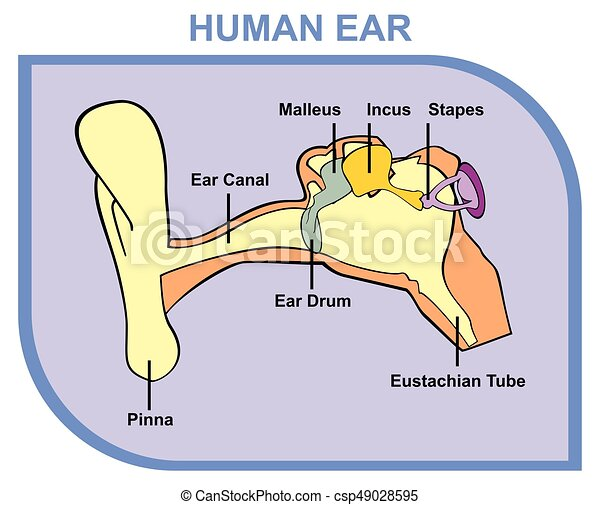 Human Ear Anatomy Including External Middle Outer Ear Parts Are