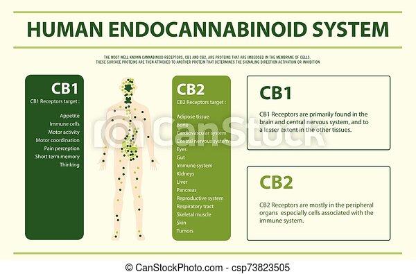 Human Endocannabinoid System horizontal infographic - csp73823505