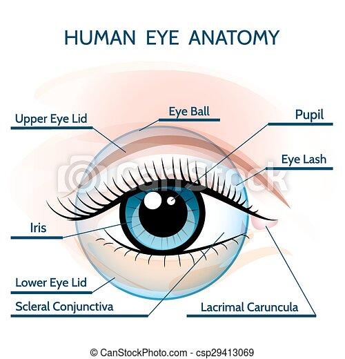 Human Eye Anatomy Human Eye Anatomy Illustration Only Free Font Used