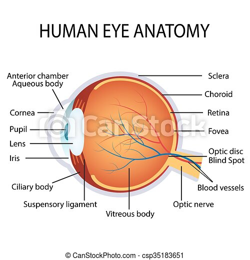 Human eye anatomy - csp35183651