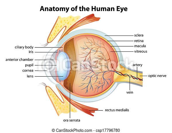 Human eye anatomy - csp17796780