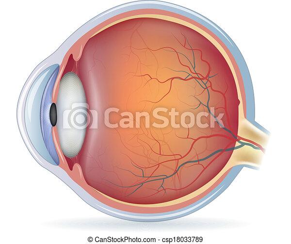 Human eye anatomy - csp18033789