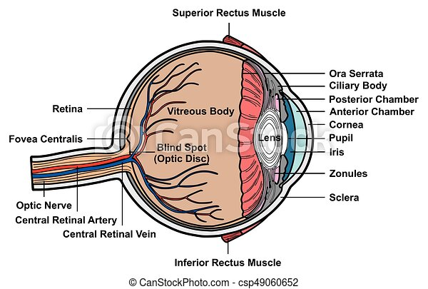 Human eye cross section anatomy diagram with all parts clipart human eye cross section anatomy diagram csp49060652 ccuart Images