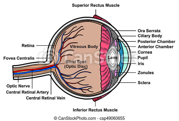 Human eye cross section anatomy diagram with all parts anatomical human eye cross section anatomy diagram csp49060655 ccuart Images