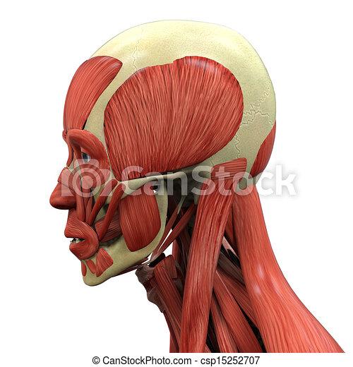 Illustration Of Human Face Anatomy 3d Render