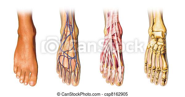 Human foot anatomy cutaway representation. - csp8162905