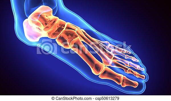 Human foot anatomy illustration . 3d render. 3d, anatomical, anatomy ...