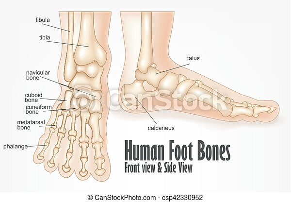 Vector illustration of human foot bones front and side view anatomy.