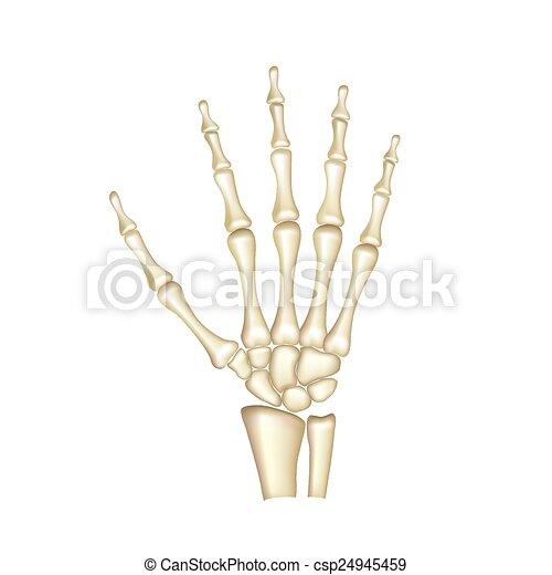 Human hand bones anatomy isolated on white vector - csp24945459