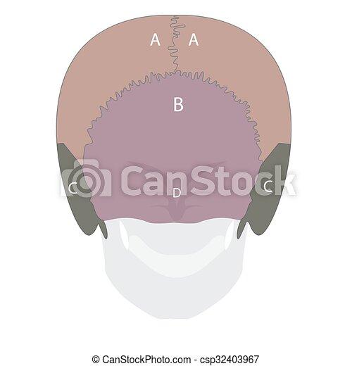 human head bones - csp32403967