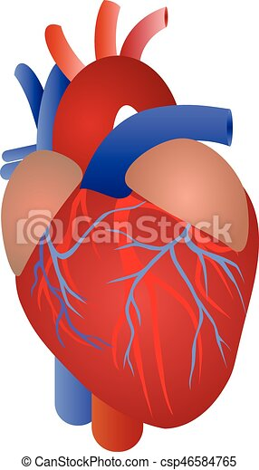 Human Heart Anatomy From A Healthy Body Isolated On White Background