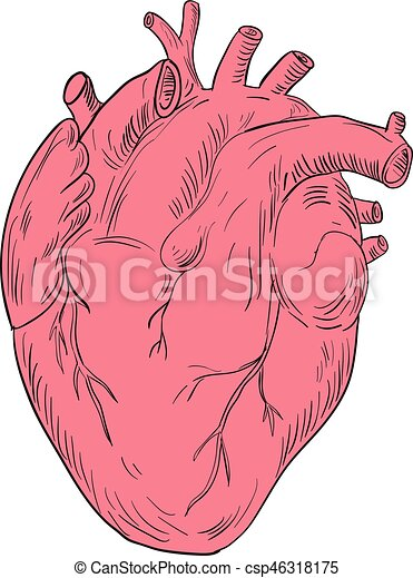Human Heart Anatomy Drawing Drawing Sketch Style Illustration Of A