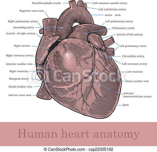 Human Heart Anatomy Vector Illustration Of Human Heart In Vintage