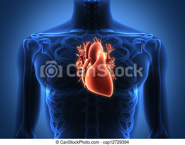 Human heart anatomy from a healthy body - csp12729394