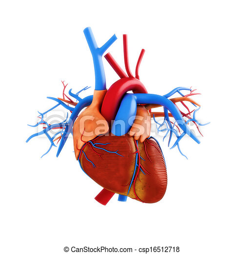 Human heart anatomy illustration - csp16512718