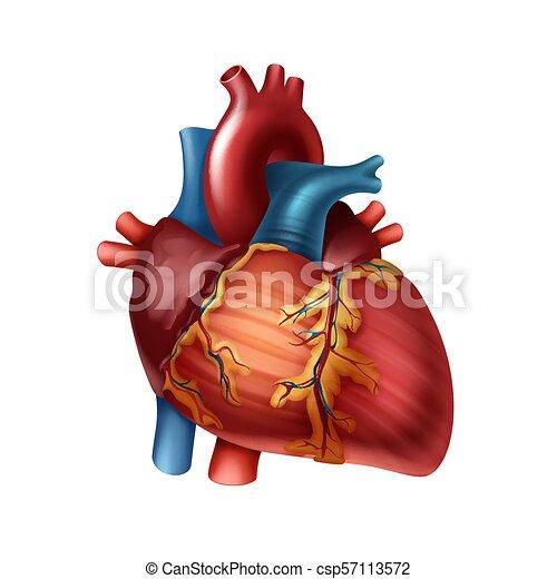 Human Heart Anatomy Vector Red Healthy Human Heart With Arteries
