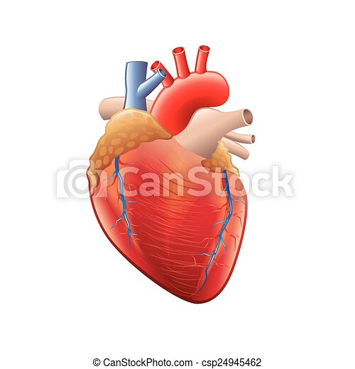 Human heart anatomy isolated on white vector - csp24945462