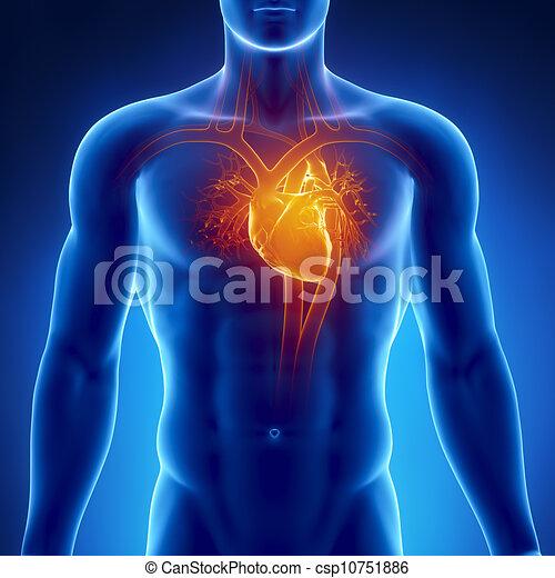 Human heart anatomy.